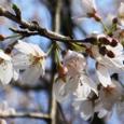 佐野家の初桜姫