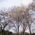 佐野家の初桜木