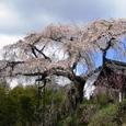 地蔵院(井手町)のシダレザクラ