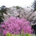 桜花乱舞 (地蔵院20070330)