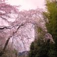 佐野藤右衛門邸桜20070330:今春のおすすめ桜木