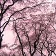 佐野藤右衛門邸桜20070330:中天への伸び