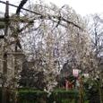 長建寺の糸桜爛漫
