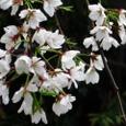 長建寺の糸桜