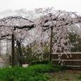 円山公園桜20070402(24番)