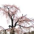 円山界隈・枝垂れ桜の妖精