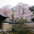 高台寺桜20070402(22番)