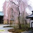 高台寺桜20070402(30番)