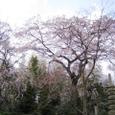 佐野邸枝垂れ桜20070403-00