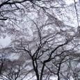 佐野邸枝垂れ桜20070403-12