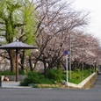 天神川桜20070404-15