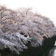 天神川桜20070404-21