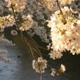 天神川桜20070404-29