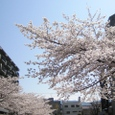 木幡桜20070406-40