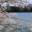 大沢池桜(大覚寺)20070403-73