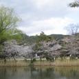 大沢池桜(大覚寺)20070403-79
