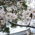 大沢池桜(大覚寺)20070403-89