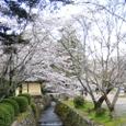大沢池桜(大覚寺)20070403-95