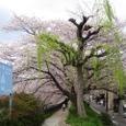 天神川柳桜2008IXY-19