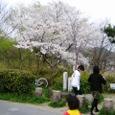 広沢池桜2008IXY-07
