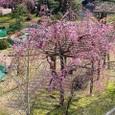 葛野桜2008DCR-PC110/04:ピンクの枝垂れ桜
