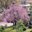 葛野桜2008DCR-PC110/04:枝垂れ桜・築山と滝