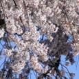 嵐山桜2008Sony094:桜アップ