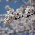木幡桜2008X2-40:満開