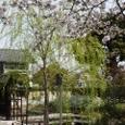 東寺桜2008X2-59:東寺桜と柳
