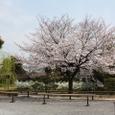 東寺桜2008X2-63:宝蔵前の桜と柳