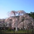 嵐山桜2008IXY4080:朝日に匂う嵐山桜