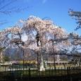 嵐山桜2008IXY4082:枝垂れ桜・全景