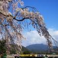 嵐山桜2008IXY4085:枝垂れ桜と愛宕山と焼きそば
