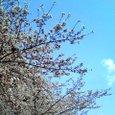 木幡桜2008-4