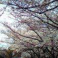 木幡桜2008-3