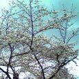 木幡桜2008-2
