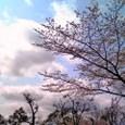 木幡桜2008-1