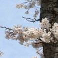 平安郷:桜木と桜花