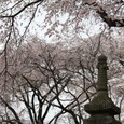 石塔と佐野桜