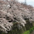 川縁の天神川(南)桜