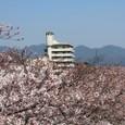 天神川桜(北)と塔