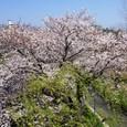 天神川(北)柳桜と桜塔