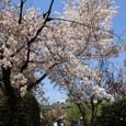 弁財天・長建寺の桜