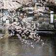 高瀬川の桜と旧ミューズ