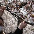 寒風に揺れる桜木