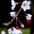 匂い立つ佐野桜