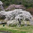 平安郷:右一号桜
