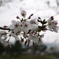 賀茂川の桜姫