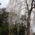 賀茂大橋の枝垂れ桜