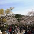 円山公園の花見客